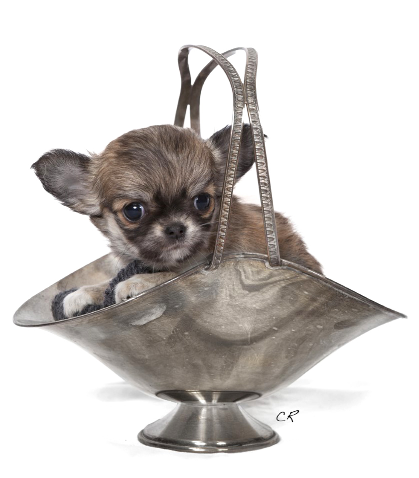 1 Home Sweet Indeed Allevamento Chihuahua Sweet Indeed Chihuahuas