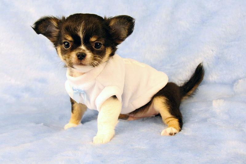 Chihuahua In Vendita Allevamento Chihuahua Sweet Indeed Chihuahuas